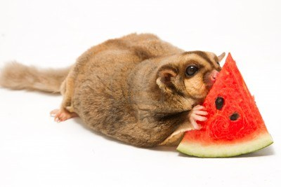 16296028-fat-sugar-glider-eatting-melon-on-white-background